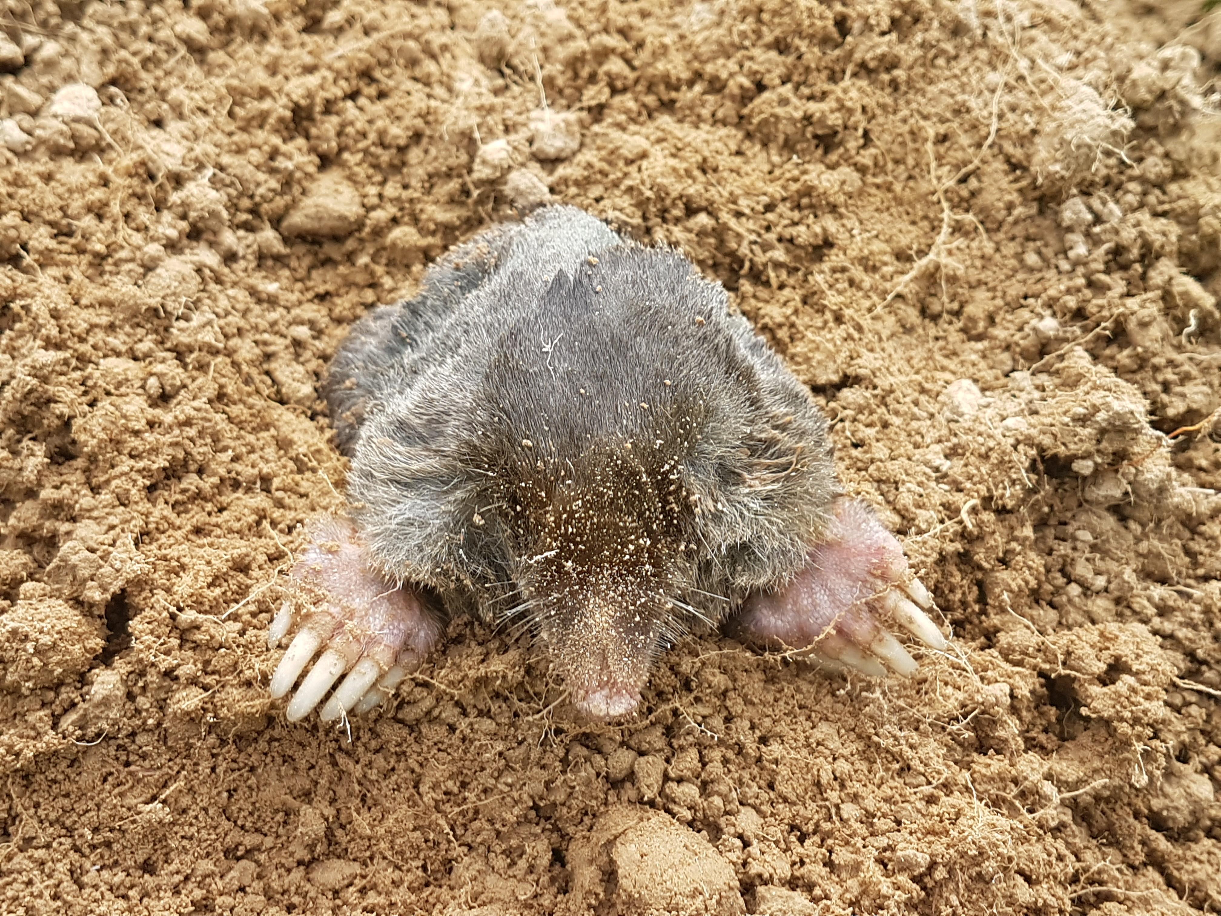 Mole showing through soil