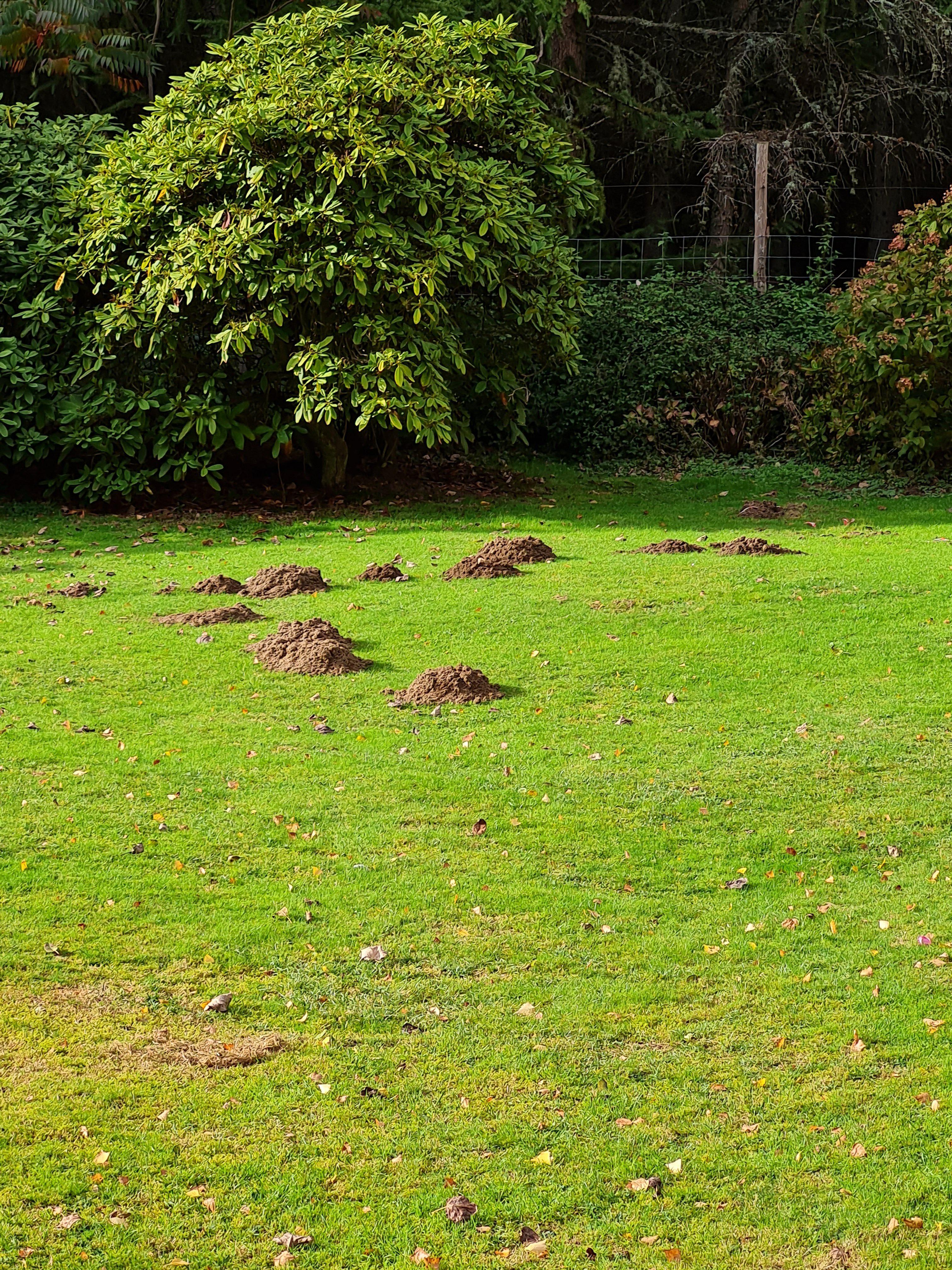 Mole Hills in Garden
